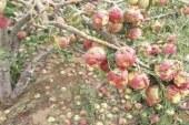 أضرار بين 80 و100 بالمائة في المحاصيل بعدد من مناطق معتمدية الروحية بسليانة جراء نزول كميات هامة من البرد