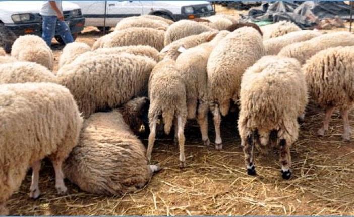 إقبال كبير على سوق المواشي بحثا عن أضحية العيد
