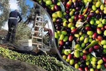 مبادرة تشريعية لانقاذ موسم الزيتون والخسائر فاقت 750 مليارا