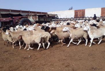 الكاف: اكتشاف 05 بؤر لمرض اللسان الازرق في صفوف قطعان ماشية بالجهة